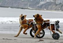 Perro con discapacidad