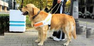 Todo lo que debes saber sobre los perros guía