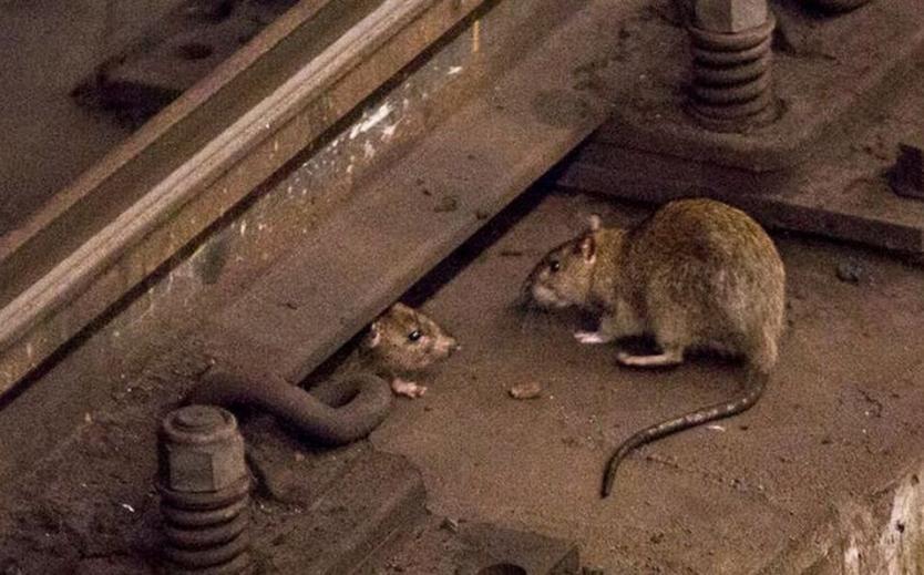 Ratas caníbales