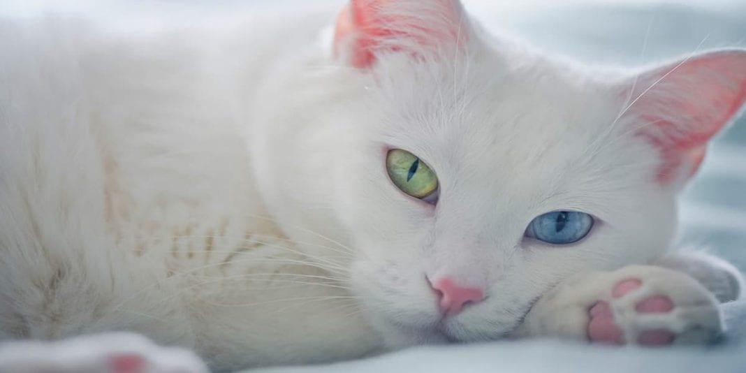 Consejos básicos para cuidar a un gato sordo