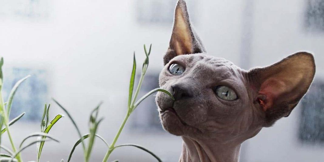 Consejos básicos para el cuidado de un gato sin pelo