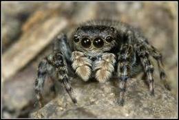 Conoce la araña saltarina o caza moscas