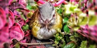 Conoce las características del verderón verdiamarillo