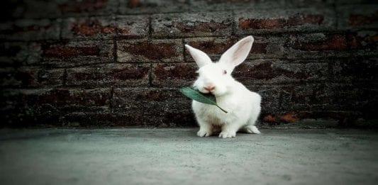 Los beneficios de esterilizar a un conejo