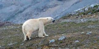 ¿Por qué está en peligro de extinción el oso polar