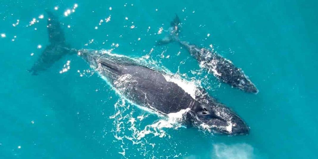 10 Curiosidades fascinantes sobre las ballena