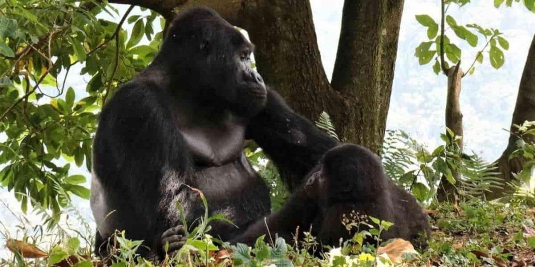 10 curiosidades que quizás no sabes de los gorilas