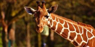 12 cosas de las jirafas que quizás no conozcas