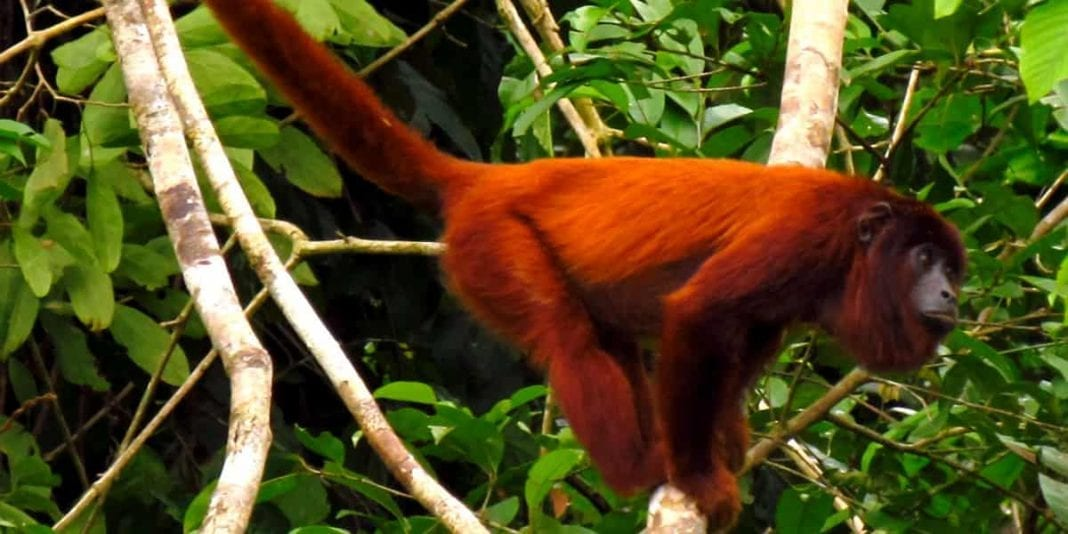 Conoce al mono aullador que habita en Colombia