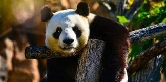 Conoce por qué el oso panda es el animal más adorable del planeta
