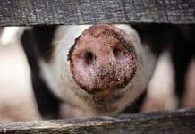 Por afectación ambiental multan a empresa criadora de cerdos en Cundinamarca