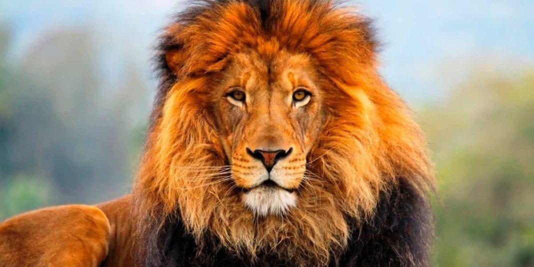 ¿Por qué es el león el rey de la selva?