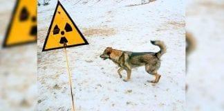 ¿Qué paso con los animales de Chernobyl?