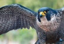 Top 5 de las aves más rápidas del mundo