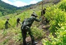 erradicación cultivos