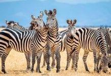 ¿Las rayas de los animales sirven para escapar de depredadores