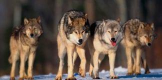 ¿Cómo eligen los animales a sus lideres