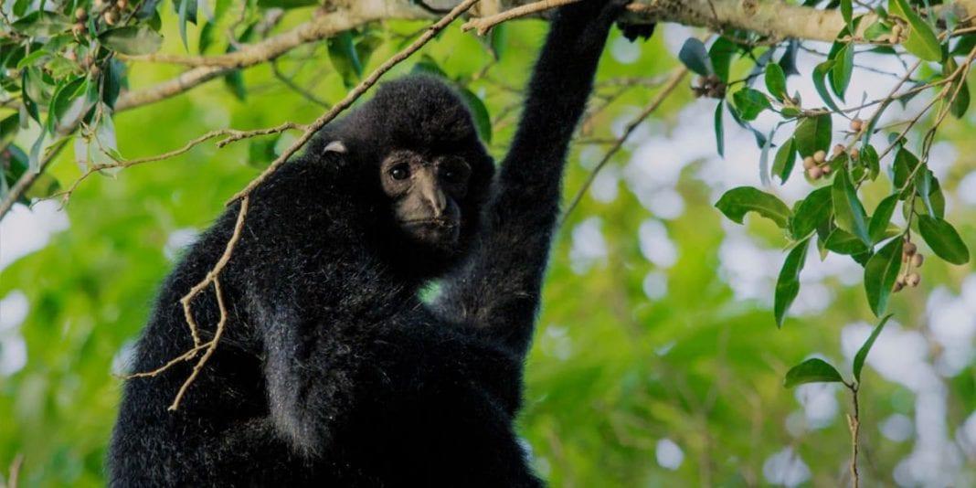 Conoce al gibón de Hainan el primate más amenazado del planeta