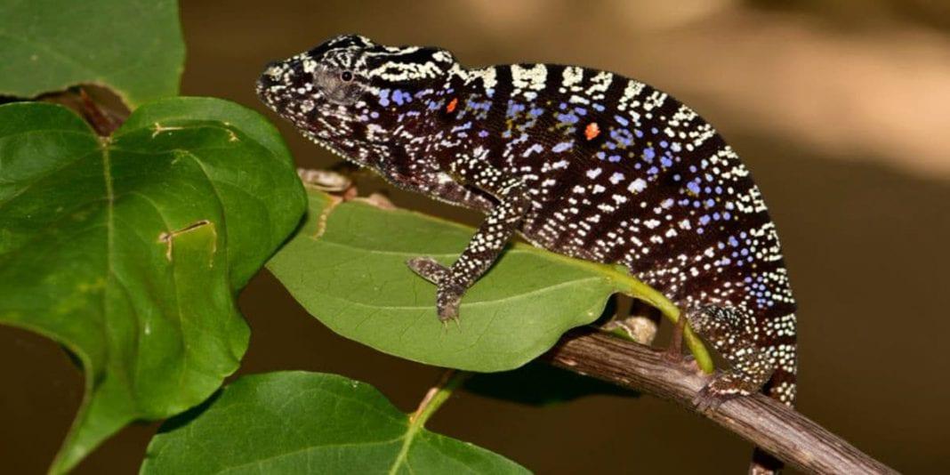 Encuentran especie de camaleón que se creía extinto
