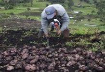 Papicultores de Cundinamarca enviarán ayudas a San Andrés