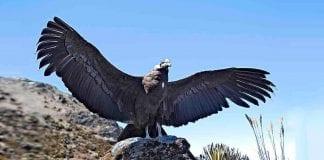 Primer Censo Nacional del Cóndor de los Andes será en febrero