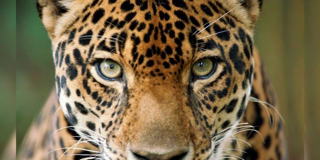 WWF lanza plan para proteger el jaguar en Colombia y Latinoamérica