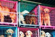 20 golden retriever salvados de morir en China llegaron a Miami