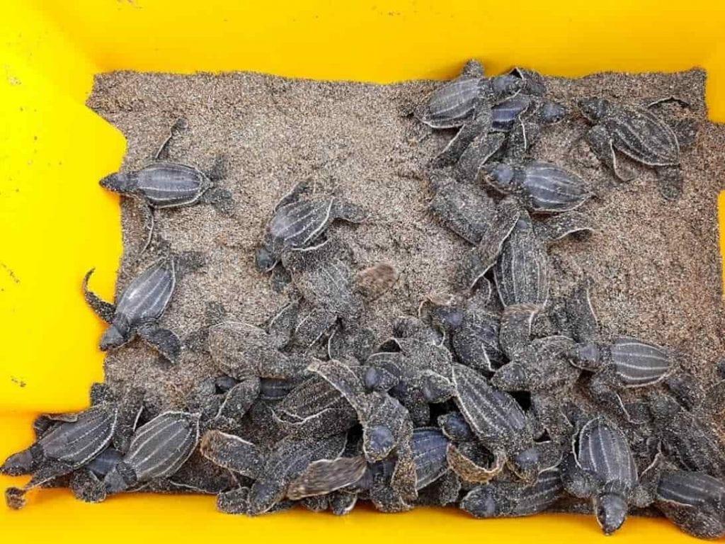 38 tortugas laúd nacieron en Ecuador