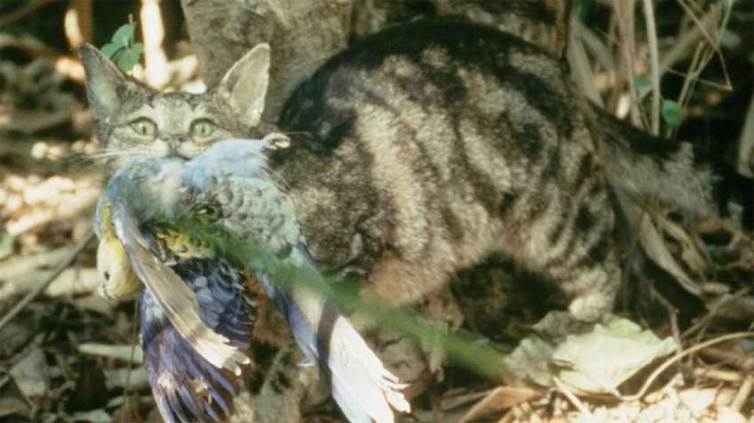 Australia planea exterminar 20 millones de gatos ferales