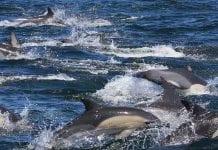 El cambio climático está matando los delfines