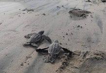 Histórico 38 tortugas laúd nacieron en Ecuador