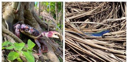 Identifican en San Andrés al cangrejo negro y lagarto azul sobrevivientes al huracán Iota