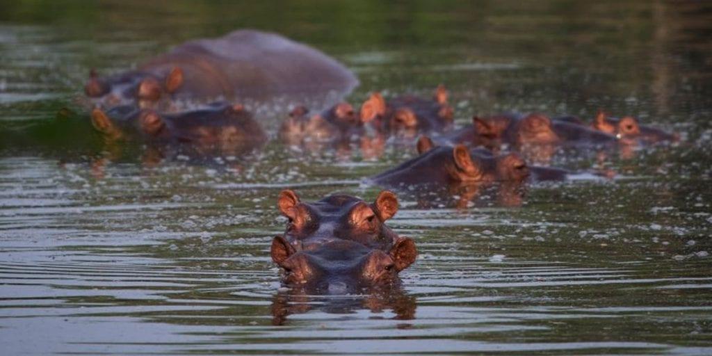 Los hipopótamos de Pablo Escobar sin control