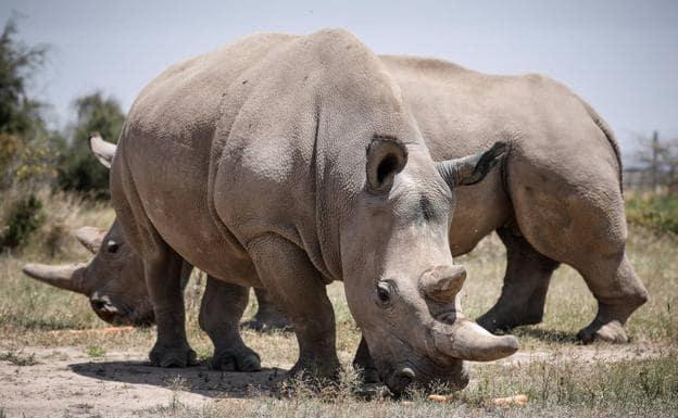 Solo quedan dos rinocerontes blancos en el mundo y ambas son hembras