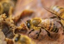 Abejas en Colombia estarían muriendo por pesticida vetado en Europa