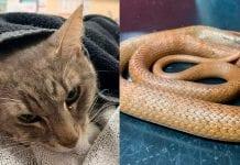 Gato murió como un héroe al proteger 2 niños de una serpiente