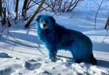 Misteriosa aparición de perros azules en Rusia