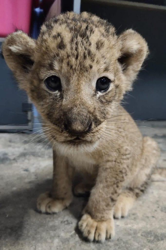 Nació el primer cachorro de león concebido por inseminación artificial