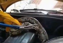 Serpiente boa constrictor aparece en el motor de un taxi en Bogotá