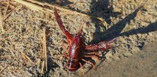 Alerta en Boyacá por presencia de Cangrejo Rojo invasor