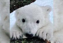 Cachorra de oso polar ve la nieve por primera vez y las redes se enternecen