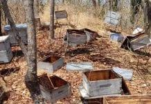 Envenenan a millones de abejas para robar su miel en Magdalena