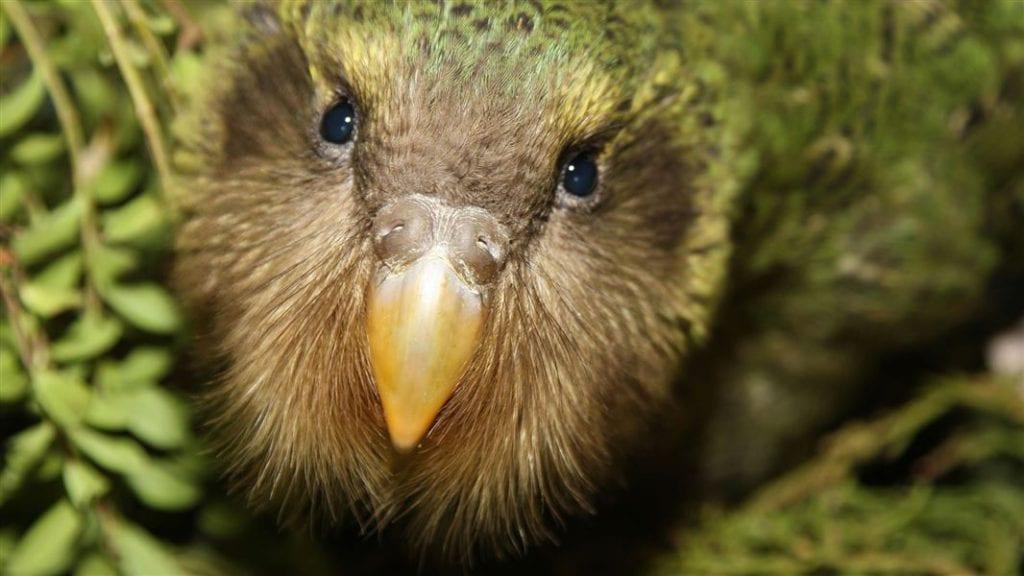 Nueva Zelanda crea isla para conservar El kakapo, especie en extinción