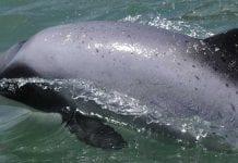Nueva Zelanda utilizará drones para proteger delfines