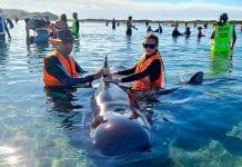 Rescatan en Nueva Zelanda a decenas de ballenas varadas