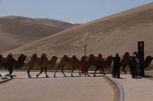 Crean en China un semáforo para camellos