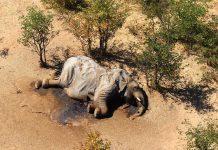 Elefanta mató a turista desprevenido en parque nacional de Zimbabue